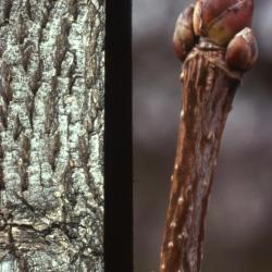 Acer platanoides (Norway maple), bark and bud