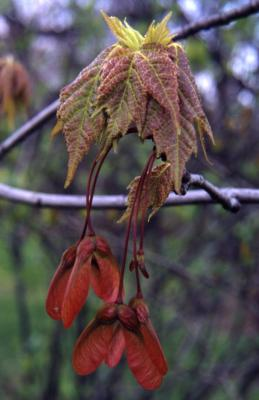Acer rubrum (red maple), fruit