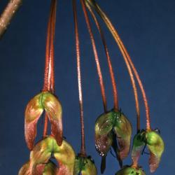 Acer rubrum (red maple), fruit, spring