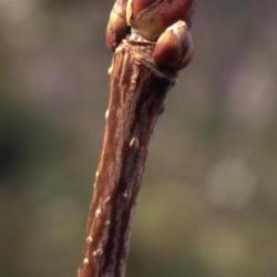 Acer platanoides (Norway maple), buds
