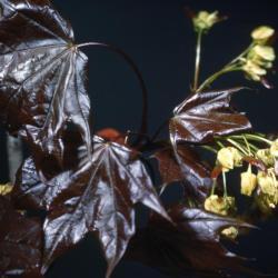 Acer platanoides 'Schwedleri' (Schwedler Norway maple), leaves and flowers