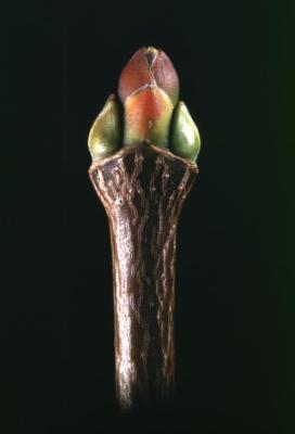 Acer platanoides (Norway maple), bud