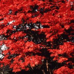 Acer pseudosieboldianum (Korean Maple), leaf, fall