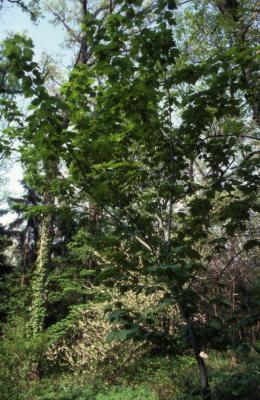 Acer pensylvanicum (striped maple), spring