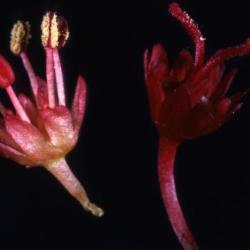 Acer rubrum (red maple), flowers