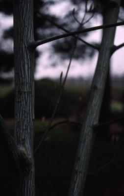 Acer 'White Tigress' (White Tigress maple), bark