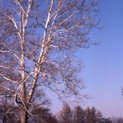 Platanus occidentalis (sycamore), habit, winter