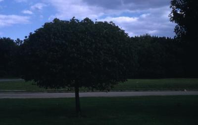 Acer platanoides 'Globosum' (Globe Norway maple), habit, summer