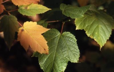 Acer pensylvanicum (striped maple), leaves