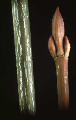 Acer pensylvanicum (striped maple), twig and bud