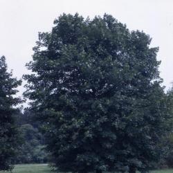 Acer platanoides 'Schwedleri' (Schwedler Norway maple), habit, summer