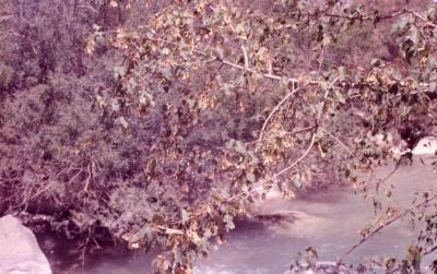 Acer ginnala var. semenowii (Semenov's maple), branch and leaves