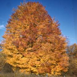 Acer rubrum (Red Maple), leaf, fall