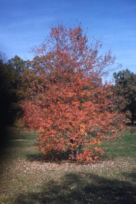 Acer rubrum 'Glaucum' (Blue-leaved red maple), habit, fall color