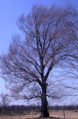 Acer rubrum (red maple), habit, spring