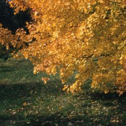 Acer ginnala (Amur maple), fall color