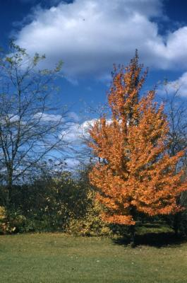 Acer rubrum (red maple), habit, fall color