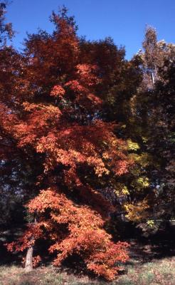 Acer triflorum (three-flowered maple), habit, fall color