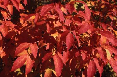 Acer triflorum (three-flowered maple), leaves, fall color