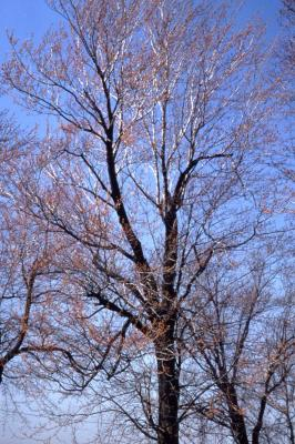Acer rubrum (red maple), early spring
