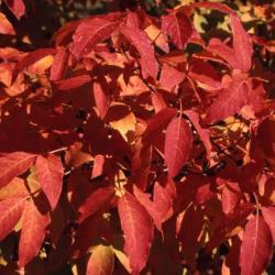 Acer triflorum (Three-flowered Maple), leaf, fall