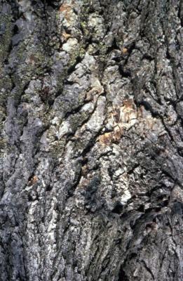 Acer rubrum (red maple), bark