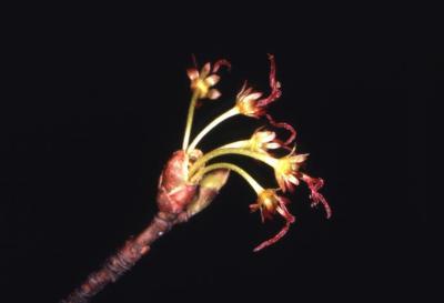 Acer rubrum (red maple), female flower