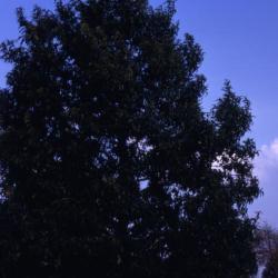 Quercus alba (white oak), new leaves