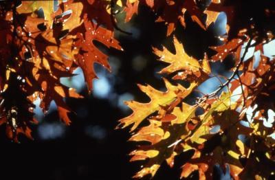 Quercus (oak), fall leaves
