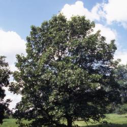 Quercus agrifolia (California live oak), crown