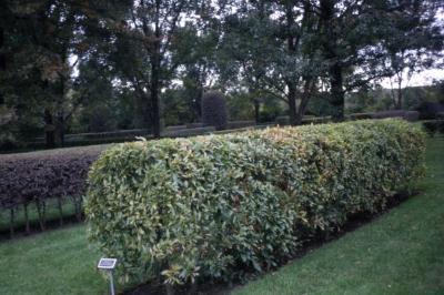 Quercus acutissima (sawtooth oak), hedgerow