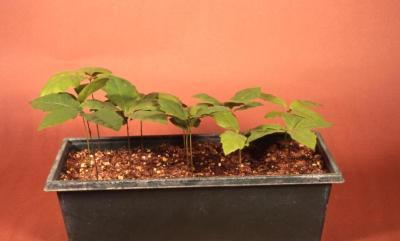 Quercus acerifolia (maple-leaved oak), potted seedlings