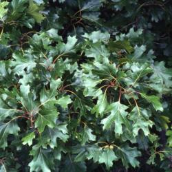 Quercus agrifolia (California live oak), mature trunk detail