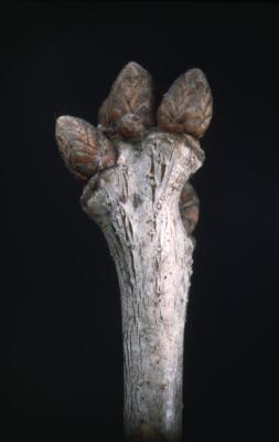 Quercus alba (white oak), bud detail