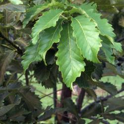 Quercus acerifolia (Maple-leaved Oak), fruit, immature