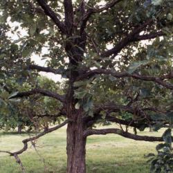 Quercus alba (white oak), fallen leaves
