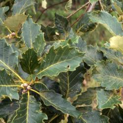 Quercus aliena (oriental white oak),bud and acorn detail