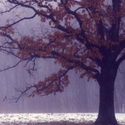 Quercus montana (Chestnut Oak), leaf, fall