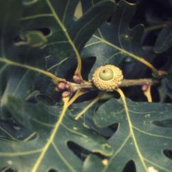 Quercus aliena (oriental white oak), habit, summer