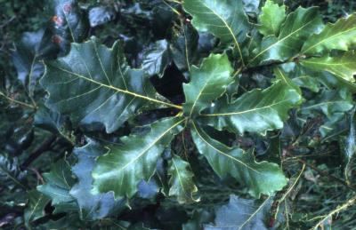 Quercus bicolor (swamp white oak), leaves
