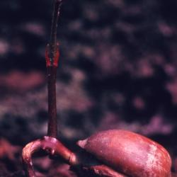 Quercus ellipsoidalis (Hill's Oak), leaf, winter