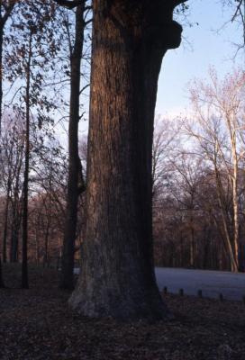 Quercus alba (white oak), tall trunk near road