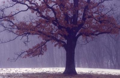 Quercus alba (white oak), habit
