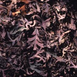Quercus acerifolia (Maple-leaved Oak), bud, terminal