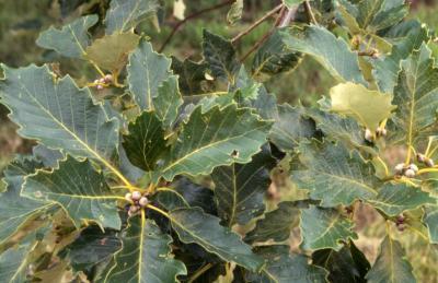 Quercus aliena (oriental white oak), acorns and diseased leaves detail