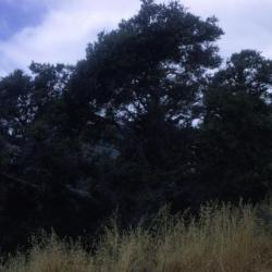 Quercus alba (white oak), bark detail