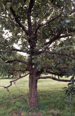 Quercus aliena (oriental white oak), trunk and branches
