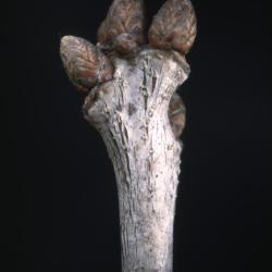 Quercus alba (white oak), gall near trunk base detail