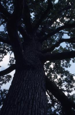 Quercus alba (white oak), trunk and branches