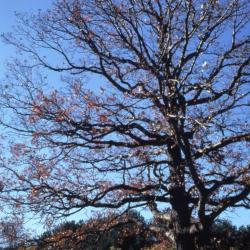 Quercus acerifolia (Maple-leaved Oak), bark, trunk